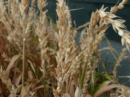 ベランダ小麦2009年6月金沢大地