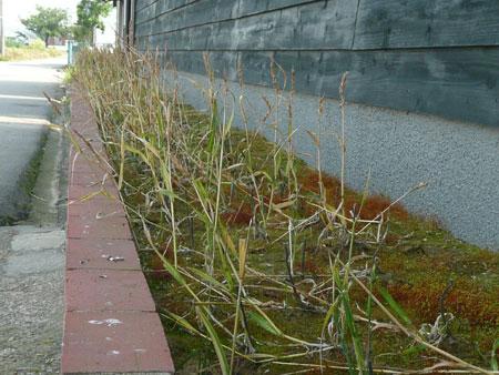 2009年6月金沢大地のベランダ小麦