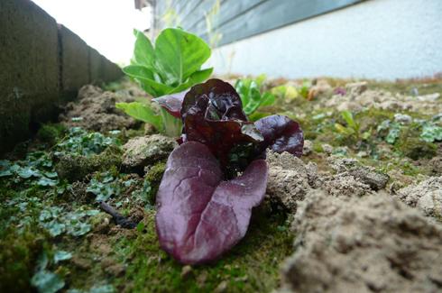 金沢大地の2010年6月の花壇・幸運の大豆を植えました