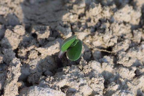 幸運の大豆ジュニアの芽3