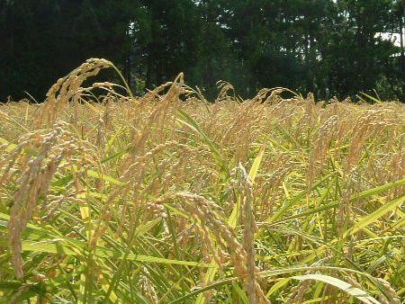 国産有機米の稲穂