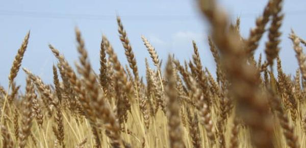 国産小麦ハグハグ