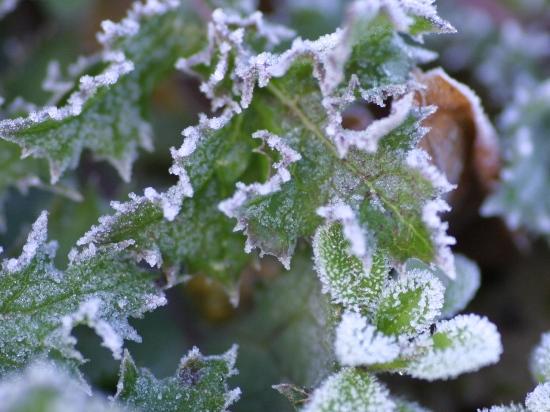 金沢大地のアザミ葉の氷の芸術